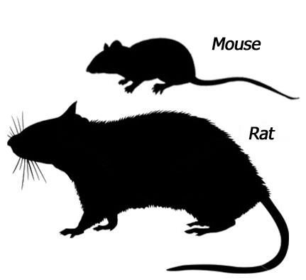 rat x mouse