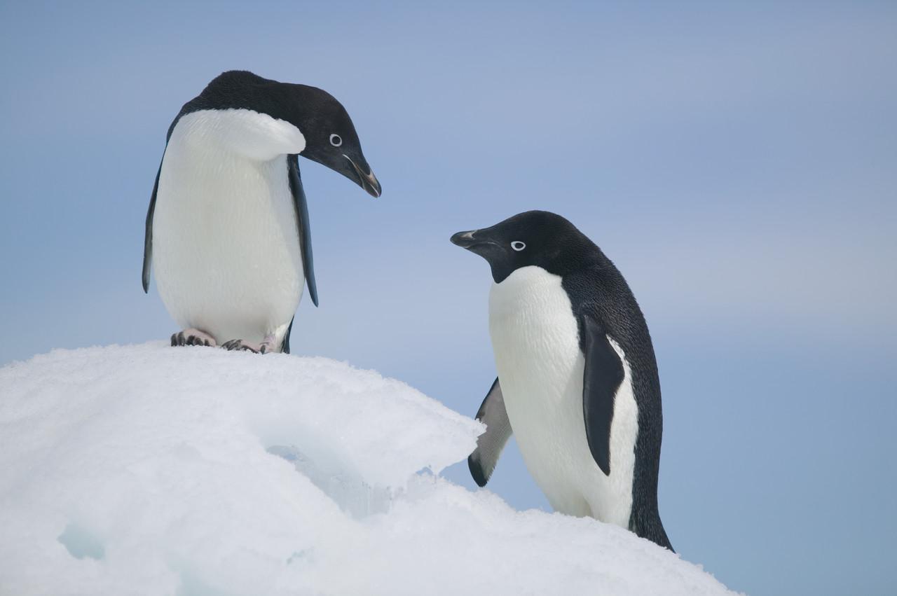 Humor: Penguins
