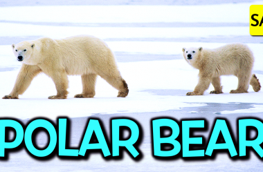 #76 🐻❄️ Polar bears are getting thinner and having fewer cubs